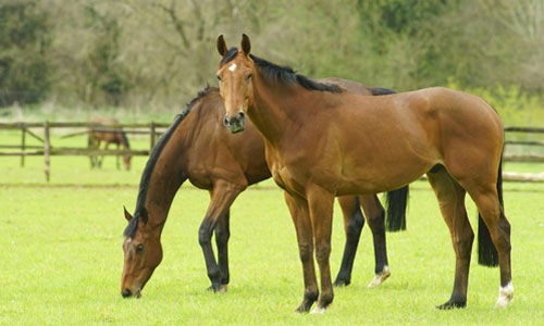 Two chocolate-colored stallions grazing in the pasture.