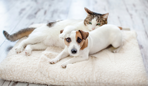 Cute small white dog and cat share a white fluffy bed