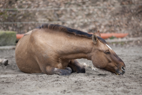 Light brown horse lying down in the dirt