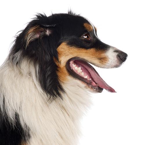 Side view of Australian Shepherd dog panting