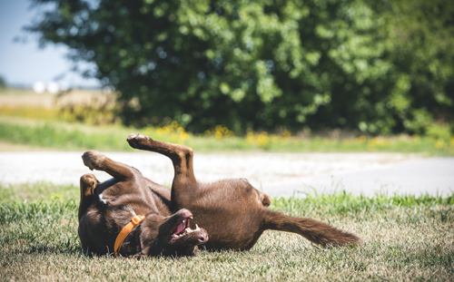 Happy Chocolate Labrador rolling in the grass