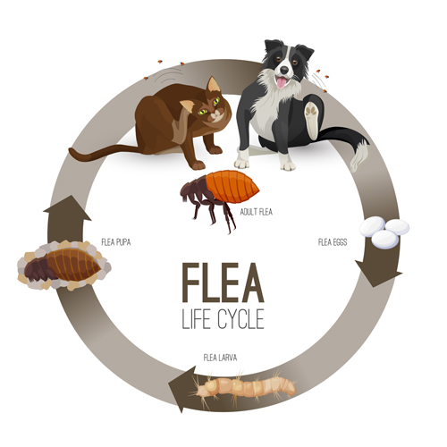 4-Stage Lifecycle of fleas: Eggs, Larvae, Pupae, Adult