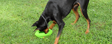 Durable 10-Inch Football Dog Toy Usage