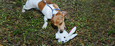 Booda Squatters Bunny Dog Toy Usage